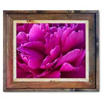 Peony Canvas Print Framed with Barnwood