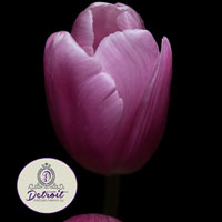Purple Tulip Fine Art Postcard