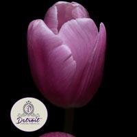 Purple Tulip Fine Art Postcard