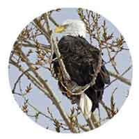 Michigan Eagle